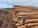 Индивидуальный предприниматель Козульского района привлечён к административной ответственности за хранение заражённых лесоматериалов